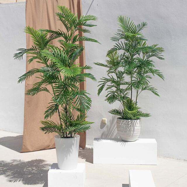 Kentia Palm 165cm
