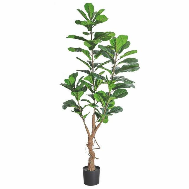 Ficus 160cm
